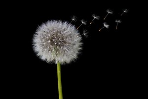 About Counselling. Dandelion
